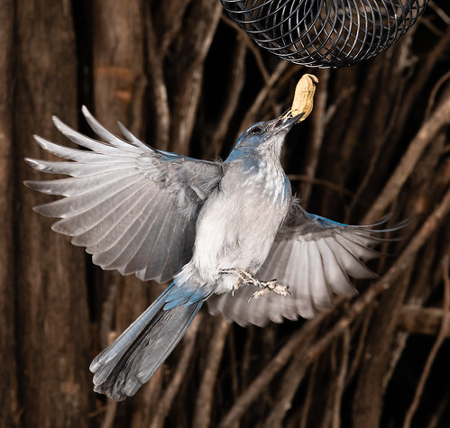 scrub_jay_feeder_flash_20201013_154