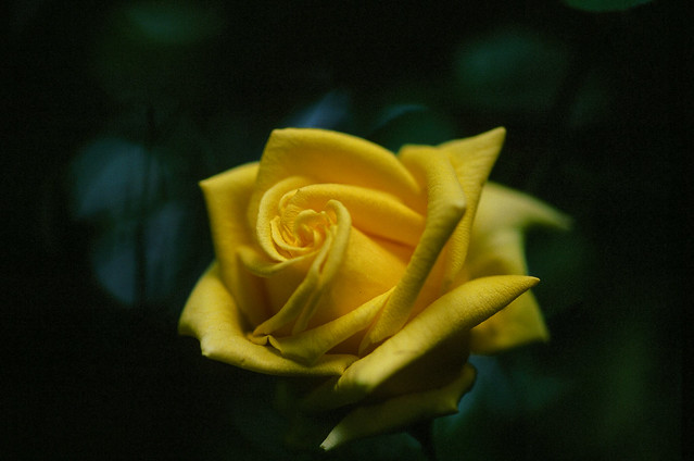 yellow rose redux