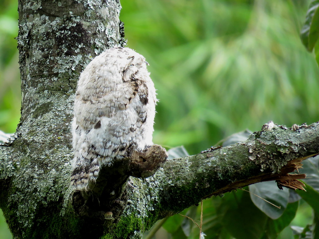 Este Bienparado común enfrenta su primer día sin su madre. Allí adoptará su plumaje oscuro y volará a otra rama para devolver el lugar a su progenitora. Este es el segundo pequeñuelo que veo nacer este semestre en el mismo lugar.