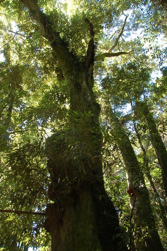 新望嶺巨木 (1)