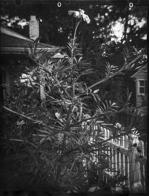 front yard, white picket fence, neighborhood, Asheville, NC, Ferrania Tanit, Arista.Edu Ultra 400, Moersch Eco film developer, 10.10.20