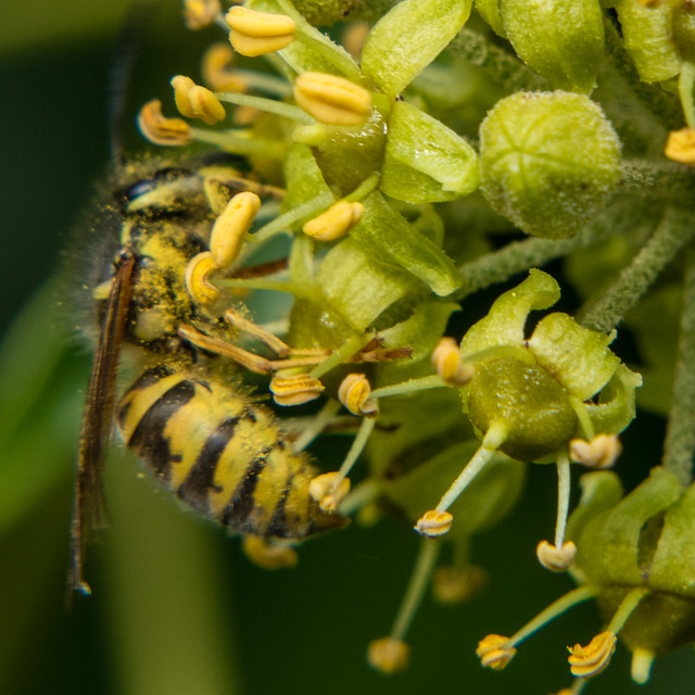 Wasp on ivy flowers