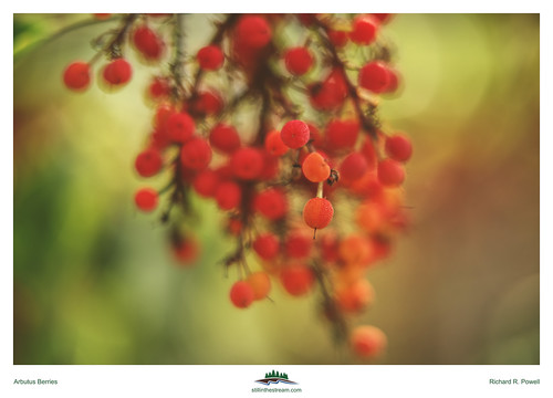 Arbutus Berries | by Richard R. Powell