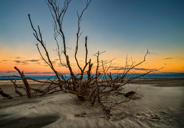 Driftwood on the Beach at Topsail Island North Carolina