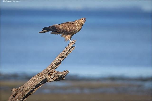 Whistling Kite: Full throated Call