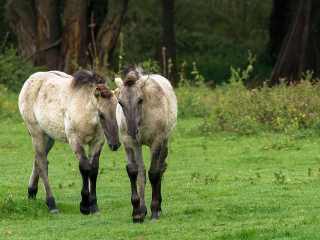 Poulains Konik - Konik foals