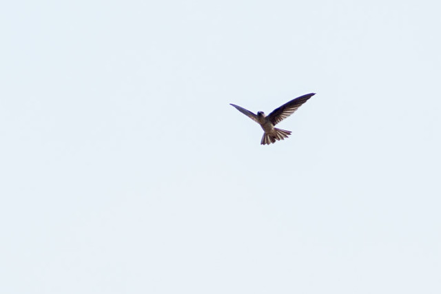 Germain's Swiftlet