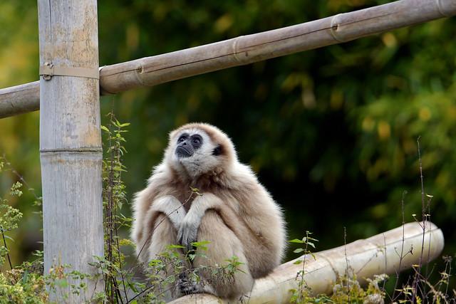 Lar gibbon // Weißhandgibbon (Hylobates lar)