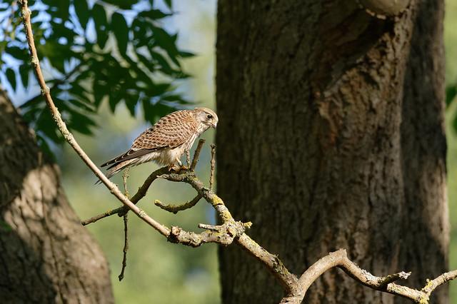 Common Kestrel (Falco tinnunculus) Tornfalk