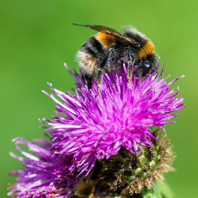 Bumblebee 20-Aug-20  M_001