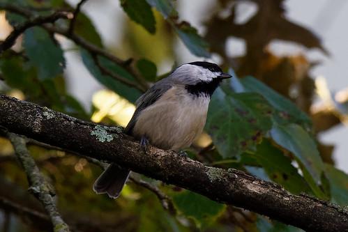 bird chickadee carolinachickadee nature wildlife backyard tree autumn morning pl3 tamron150600mm nikon dxo
