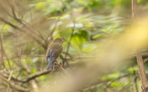 Red-flanked bluetail - Tarsiger cyanurus - Blauwstaart