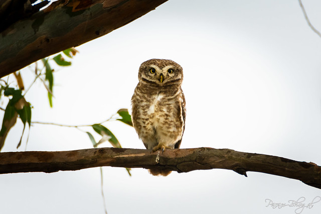 Indian Spotted Owlet (PB2_1092)