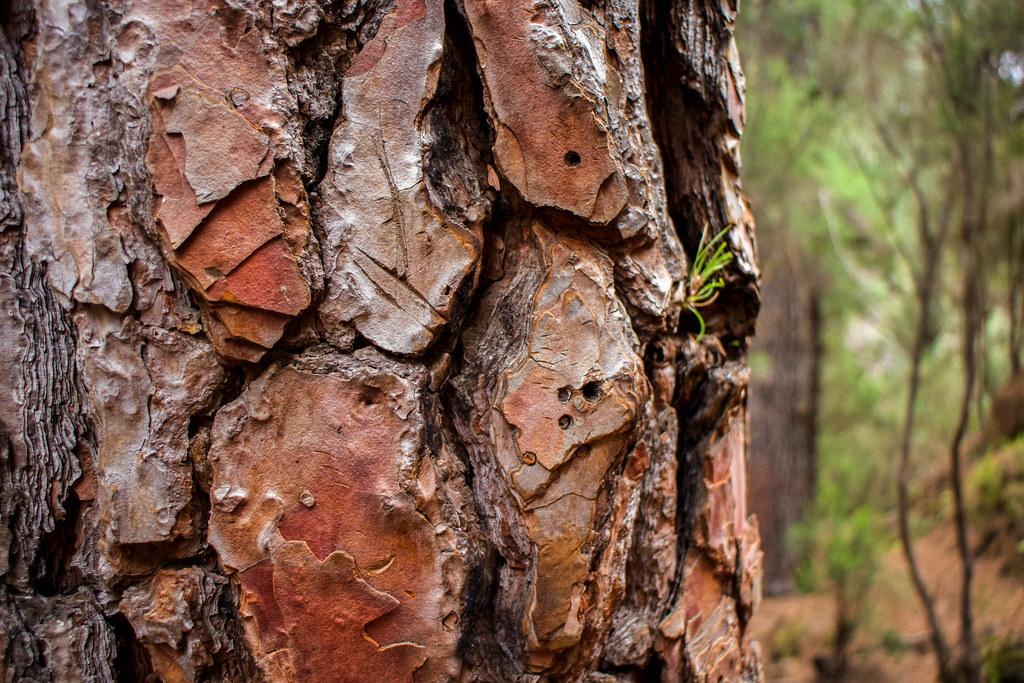 Corteza de un pino canario
