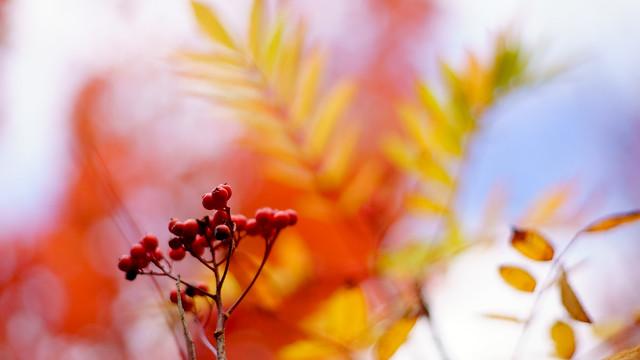 Vogelbeeren an Herbstblätter-Bokeh