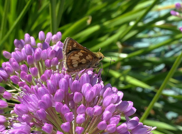 Skipper on Allium