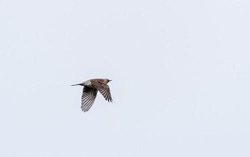 Field fare - Turdus pilarus - Kramsvogel