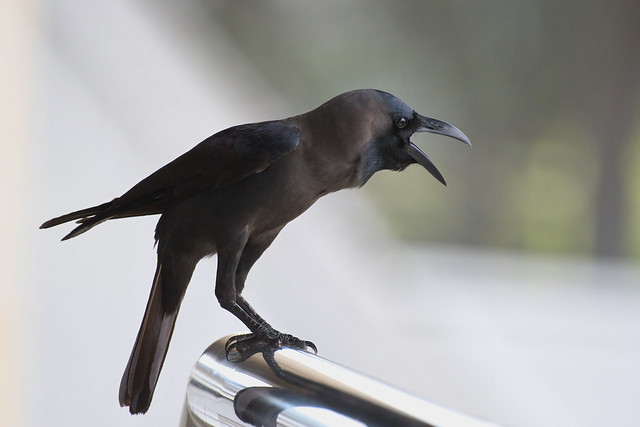 House crow - Corvus splendens