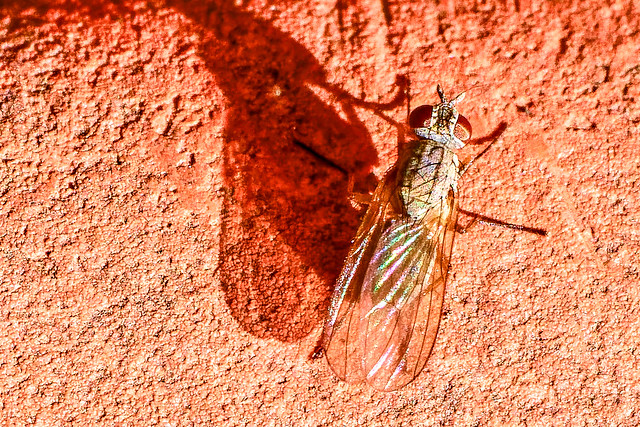 Coloured Fly