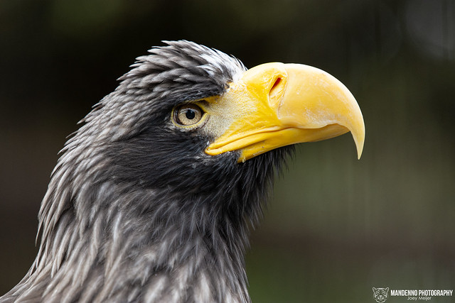 Steller Sea Eagle - Zoo Heidelberg - Germany