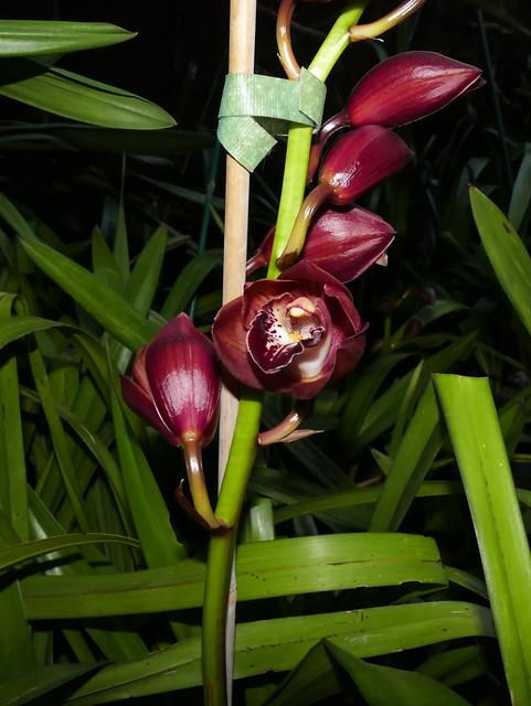 Cymbidium Unknown [c/o Karen] hybrid orchid begins its bloom 10-20*