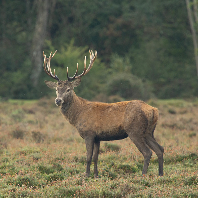 red Deer Stag in The New Forest.