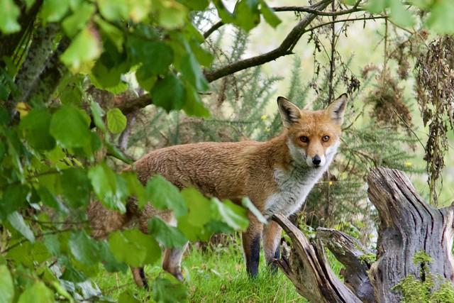 Basil the Fox