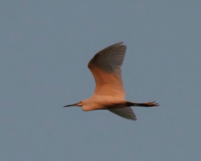 Pink Snowy Egret
