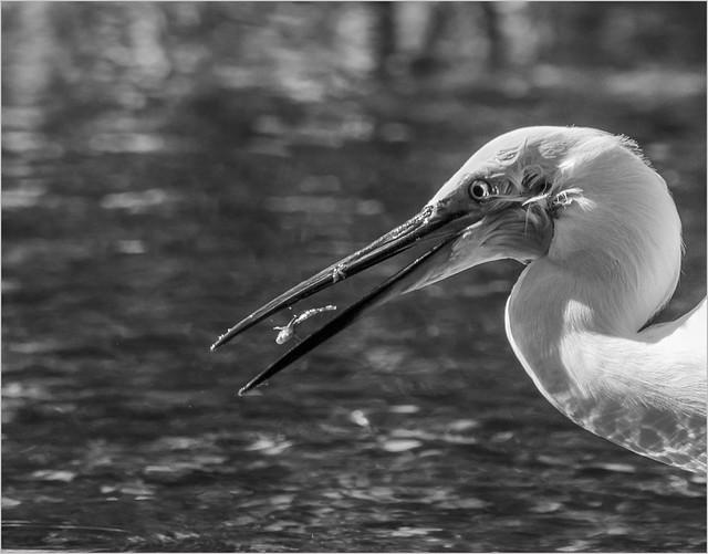 Egret swallowing fish