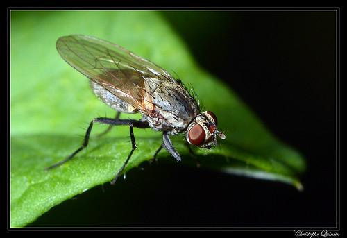 Botanophila fugax