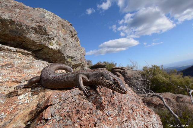 Kaputar Rock Skink (Egernia roomi). Kaputar, NSW