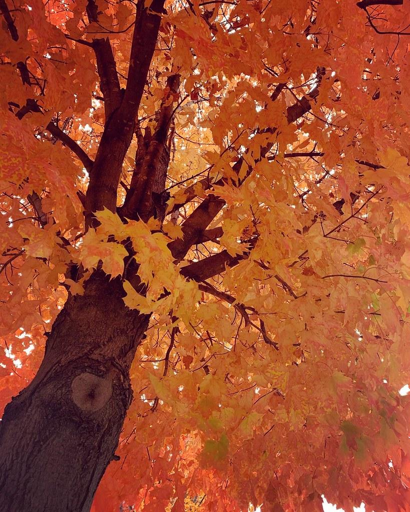 Tree with very orange leaves
