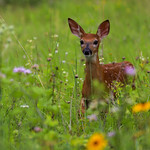 Fawn Whitetail deer in the grass and floweers2
