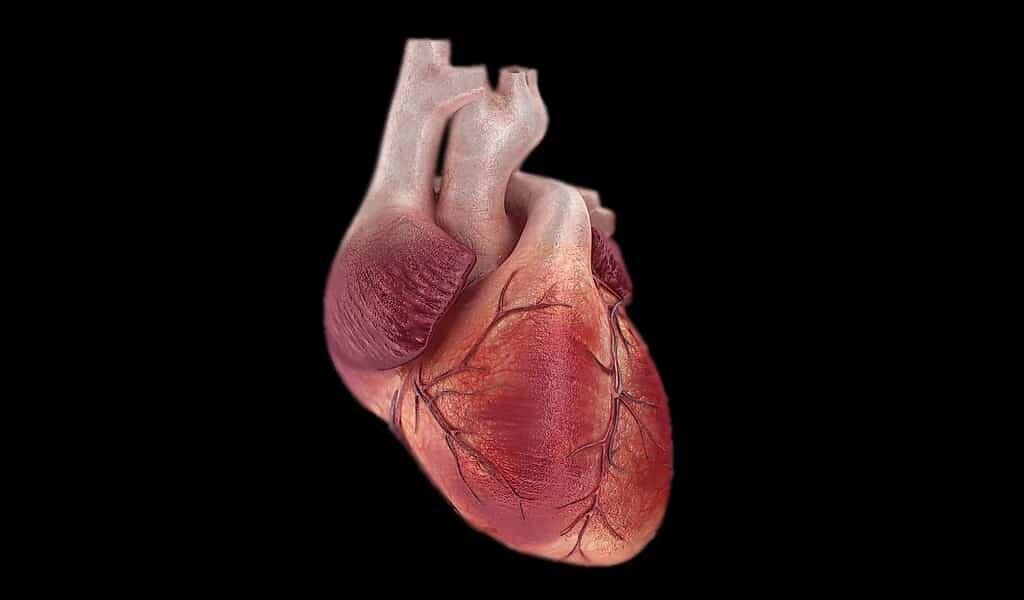 réactiver-les-cellules-après-une-crise-cardiaque