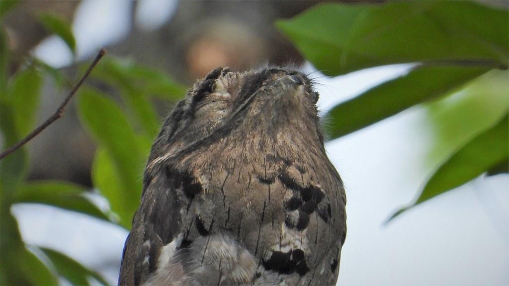 Urutau - Common Potoo - In Nature