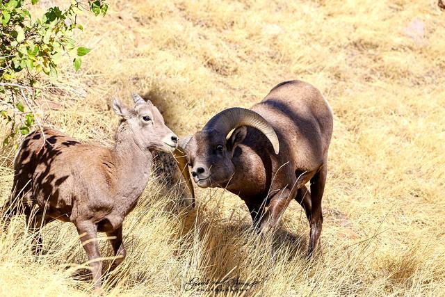 Bighorn Ram and Ewe