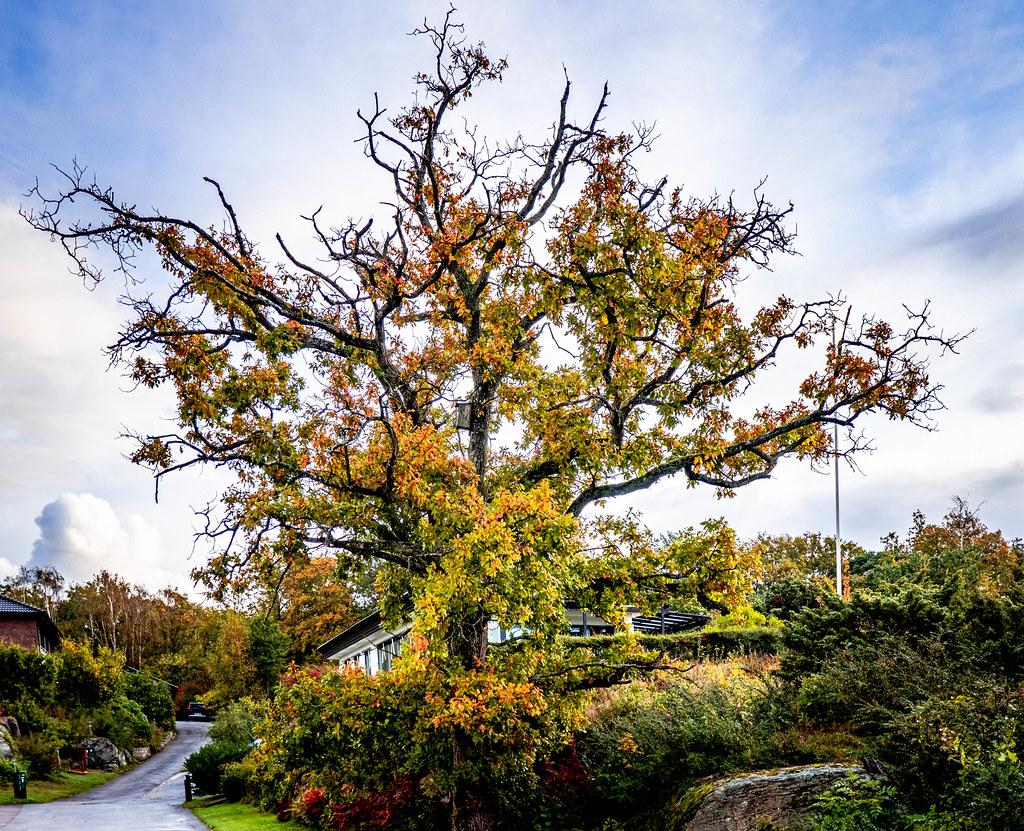 Okatree in autumn