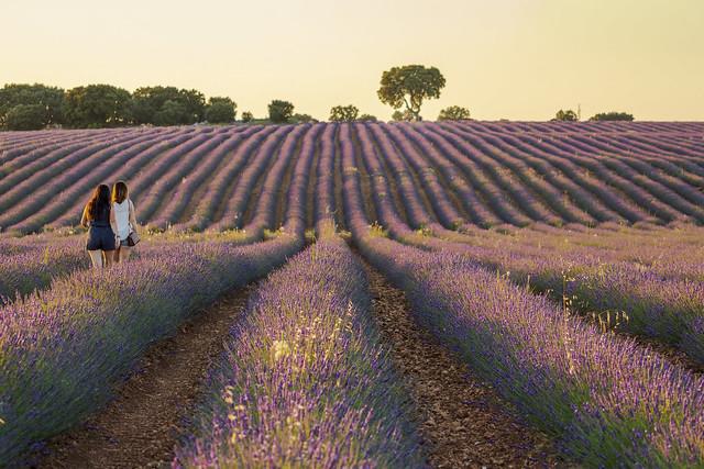 A walk through the lavender field