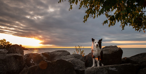 dog bordercollie hetereochromia splitface city scarborough bluffs lakeontario sunrise petphotography dogphotographer scenic morning beaches beautiful nikon d850 tamron beautifullight rainfirephotography