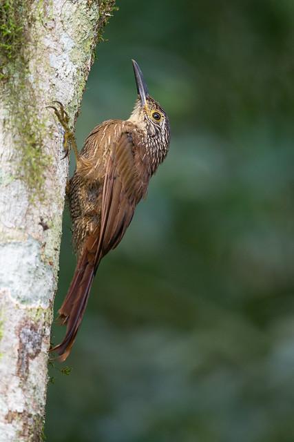 Planalto Woodcreeper - Dendrocolaptes platyrostris