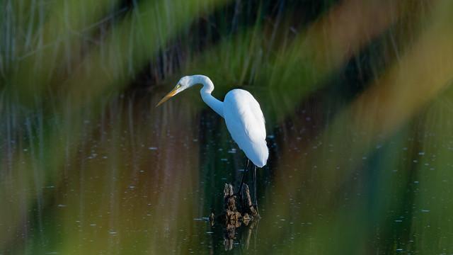 Eye of the Egret