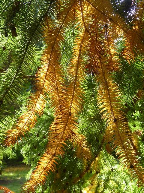 Autumnal Conifers, Sheffield Park, East Sussex