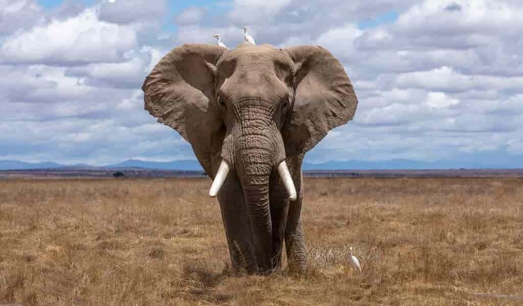 Les éléphants de la Côte d'Ivoire sont en déclin