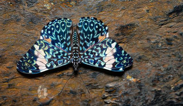 Lepidoptera - Butterfly