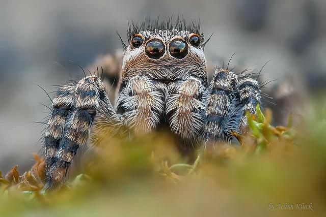Junges Weibchen der Springspinne Aelurillus v-insignitus