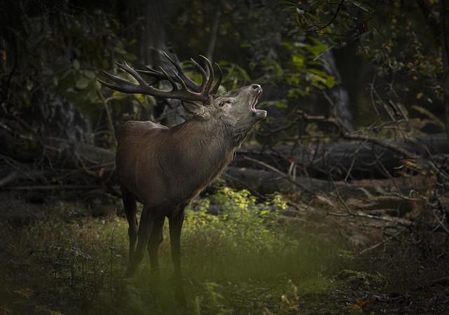Red-deer-bellowing_8213