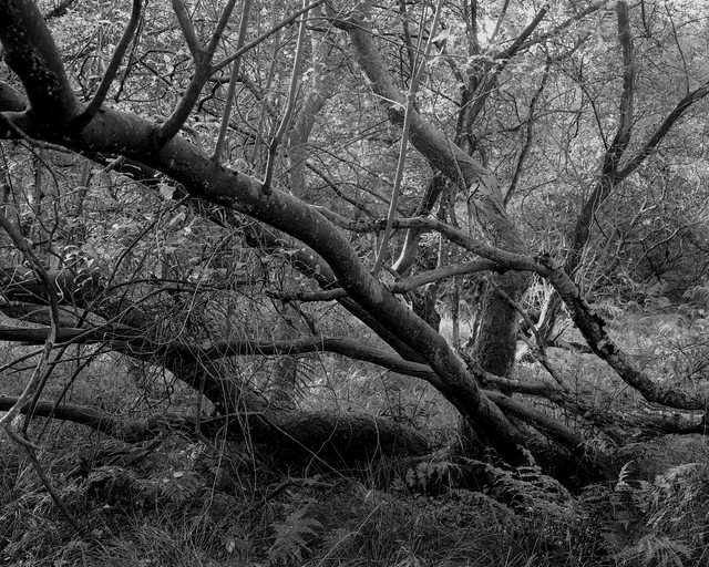 Hyons Wood, Walker Titan SF with Nikkor 90mm, Rollei 25+ in HC110