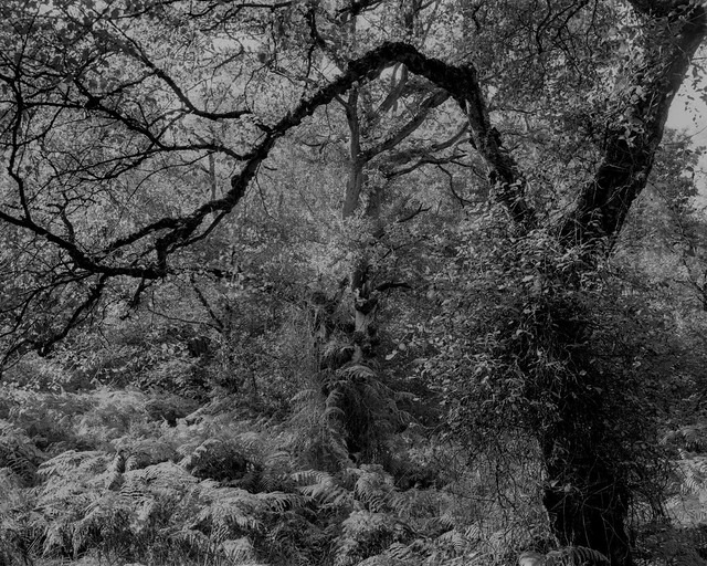 Hyons Wood, Walker Titan SF with Rodenstock 150mm, Rollei 25+ in HC110