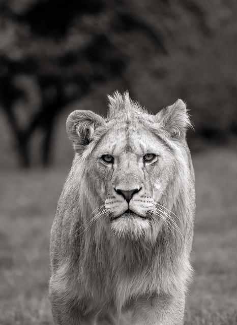African Lion approach..