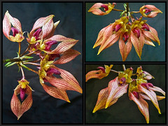 Bulbophyllum Orchid A-Dorabil 'Candy Ann' Collage